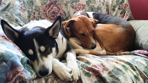 american foxhound bella loves to curl up with border collie mix jason
