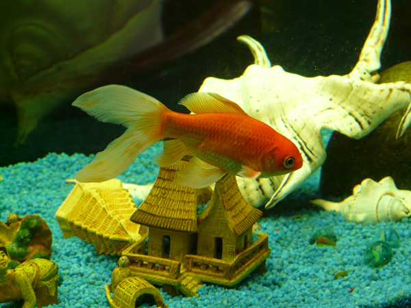 veiltail_fish_goldfish-small