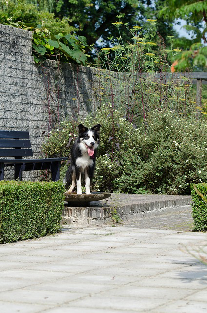 bordercollie-on-patio
